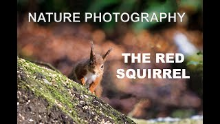 Nature Photography The Red Squirrel