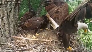 Decorah Eagles- Fish Flops Out Of Nest Mom Brings It Back