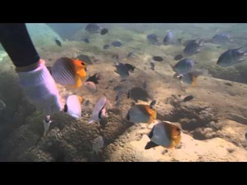備瀬 沖縄麩と蝶蝶魚の群れ : 沖縄でシュノーケリング