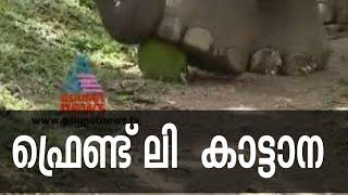 Friendly wild elephant in Wayanad   Maniyan elephant