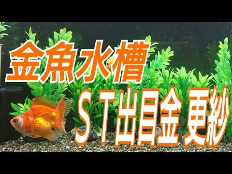 金魚水槽 ST更紗出目金!!