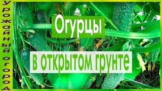 Уход за огурцами в открытом грунте: основные правила