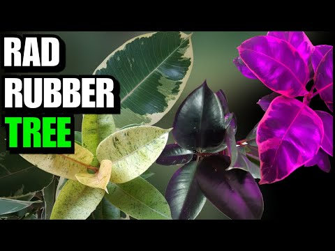 , title : 'All You Need To Know About The Rubber Tree (Ficus Elastica)