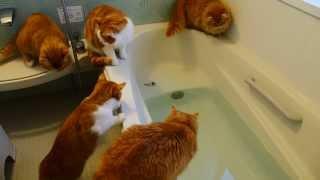 Смотреть онлайн Рыжий кот упал в ванну наблюдая за игрушкой