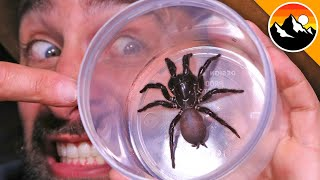 Milking the World's Most Venomous Spider!