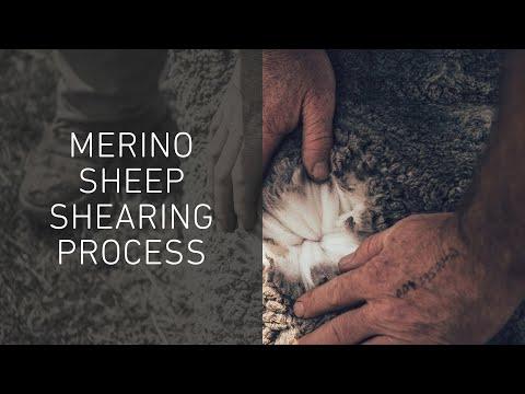 Teil 1/2: Ursprung unserer Merinowolle – Verfolge die Schafschur bis zur Klassifizierung   ORTOVOX