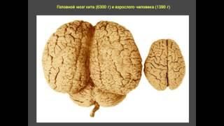 Мозг современного человека. С.Севельев  Центральный Дом Учёных
