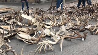 BOY SCOUT ANTLER AUCTION: Jackson Hole