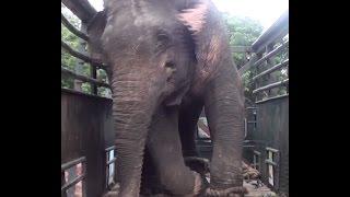 Release of huge elephant !