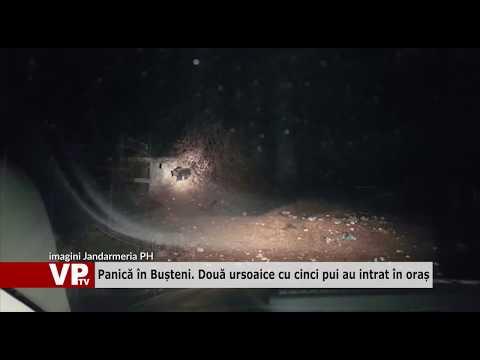 Panică în Bușteni. Două ursoaice cu cinci pui au intrat în oraș