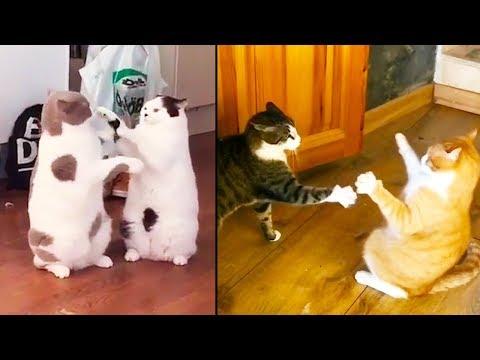Brutální kočičí bitky