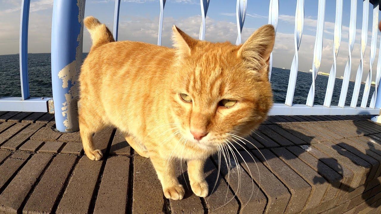 茶トラ猫を誘って一緒に海を見に行った #猫 #cat #野良猫 #茶トラ