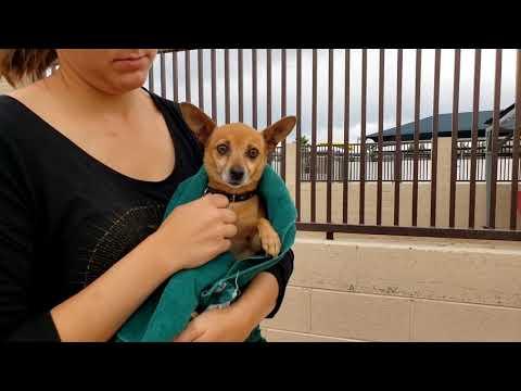 ALLIE, an adoptable Chihuahua Mix in Phoenix, AZ
