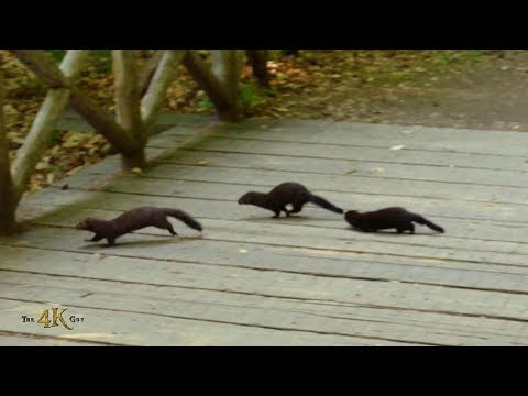 Mink family playing on the trails of beautiful Gatineau Park