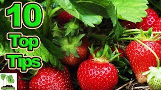 10 Tips To Grow The Best Strawberries Ever (2018)