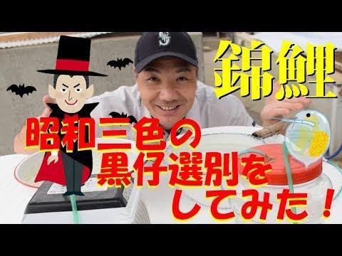 錦鯉 昭和三色の黒仔選別をしてみた! Nishikigoi Showa first shorting.