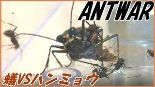蟻戦争Ⅱ#46クロヤマアリVS天敵ハンミョウ~夏によく見る風景~編~antvstigerbeetle~