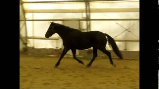 2011 Morgan mare for sale.  Whippoorwill Oakesia