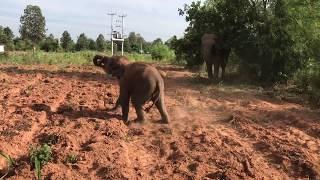 ลูกช้าง ขโมยเเล้ววิ่งหนี กลัวความผิด elephant thailand