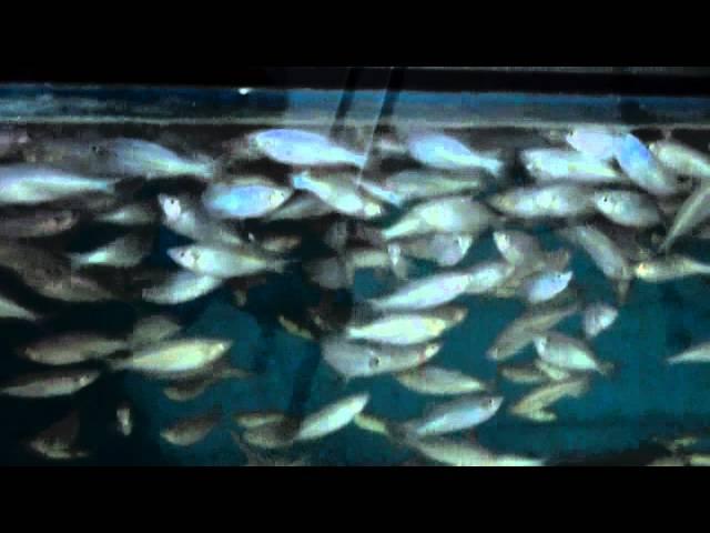 Tropical Fish Farm-SLOVAK REPUBLIK,Danio aequipinnatus.MP4