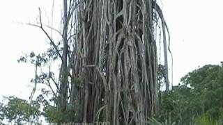 preview picture of video 'Würgefeige auf New Britain blieb stehen, strangler fig'