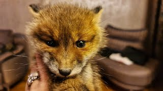 Home delivery of a fox. Little fox got into trouble and got lost