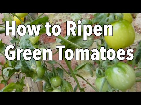 , title : 'How to Ripen Green Tomatoes