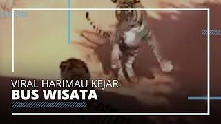 Viral di Medsos Harimau Kejar Bus Turis di Taman Safari