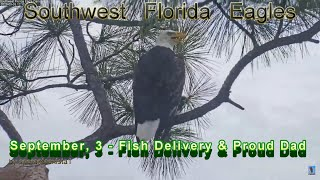 SWFL Eagles - September, 3 - Fish Delivery To The  Nest & Proud Dad
