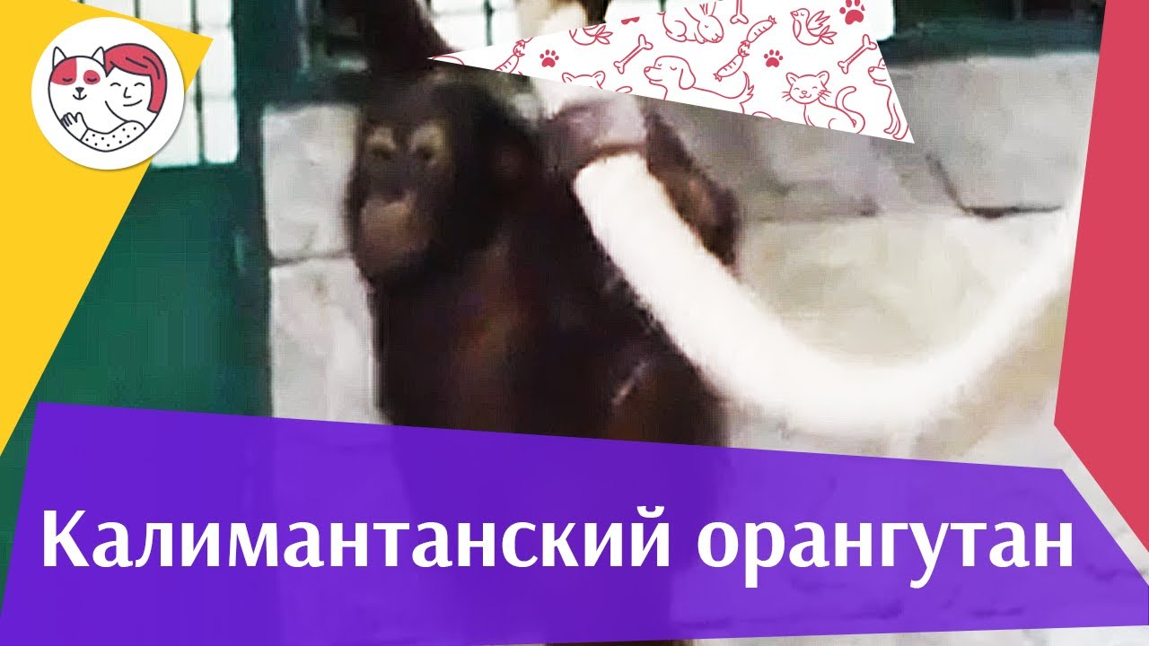 Калимантанский орангутан Образ жизни на ilikepet
