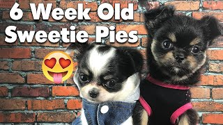 Here's what to look for in a 6 week old Chihuahua puppy | Sweetie Pie Pets by Kelly Swift