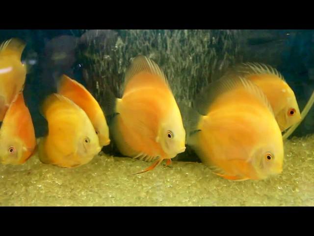 Beautiful Discus Fish Tank