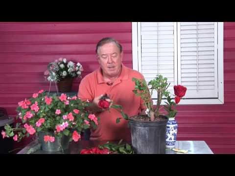 Video Growing Roses : How to Troubleshoot Rose Diseases