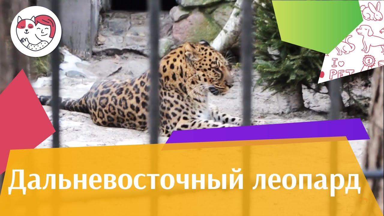 Дальневосточный леопард Перспективы популяции на ilikepet