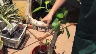 フィカスベンガレンシスオムの木が根腐れした場合の処置方法その1