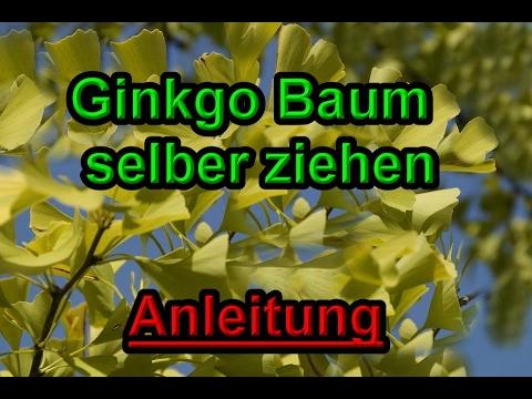 Ginkgo Baum selber ziehen - Ginkgobaum / Ginkgo Pflanzen vermehren - Anleitung