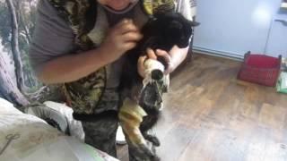 ЗИЗА: страшная рана у чудесной кошки... ❀ БФ Лохматая Душа