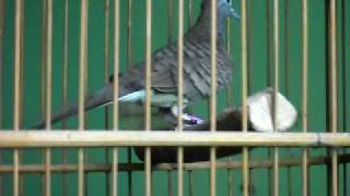 A Unique Bird Like Pigeons