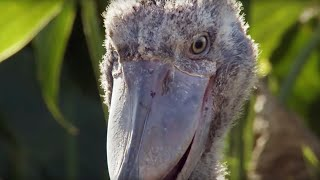 Shoebill Chick Reveals Darkside  | Africa | BBC