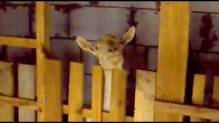 Сколько раз доить козу после окота: особенности доения