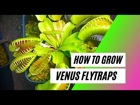 Video How to Grow a Venus Flytrap (Basic Care Guide)