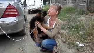 Puppy kiss.Поцелуйный щенок немецкой овчарки.Одесса