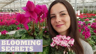 HOW TO GROW CYCLAMEN INDOORS   HOW TO MAKE CYCLAMEN BLOOM FOR MANY MONTHS   CYCLAMEN LIFE CYCLE