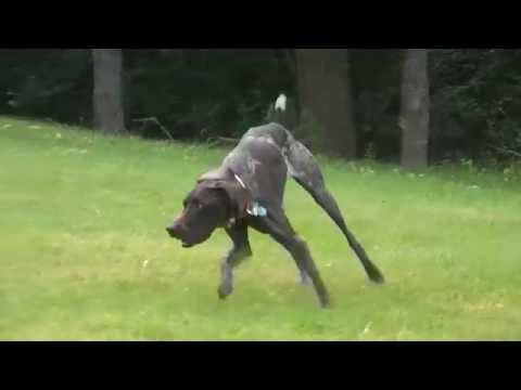 German Shorthaired Pointer stalking & chasing a rabbit