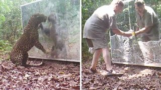 Two Silverback Gorillas Fight in the Jungle - Animals Reactions in Huge Mirrors dirtied by a Leopard