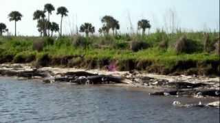 Florida Alligators on the St Johns River