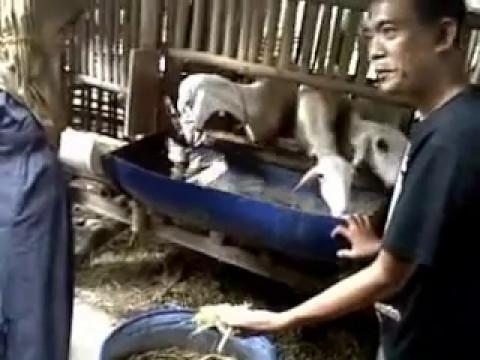 Video CARA TERNAK KAMBING UNTUK PEMULA 082138882849