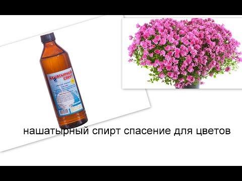 аммиак для цветов. удобрение цветов нашатырным спиртом