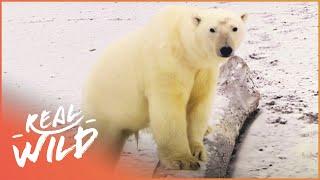 In Isolation With Polar Bears [Polar Bear Documentary] | Wild Things