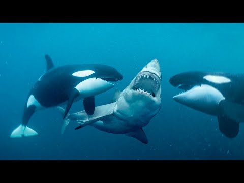 This Is Why Orcas Are Called Killer Whales